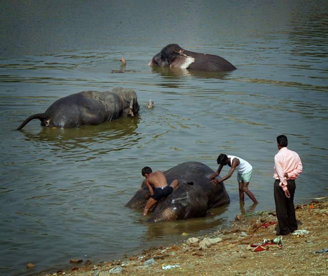 Elephants bathing near Amber Fort, 2005.